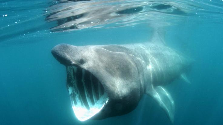 Riesenhaie sind für den Menschen ungefährlich. (Foto)