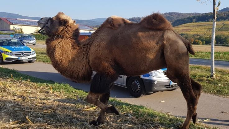 Ein Kamel wagte auf einem nur etwa fünf Meter von der Fahrbahn entfernten Parkplatz nahe St. Georgen einen Spaziergang.