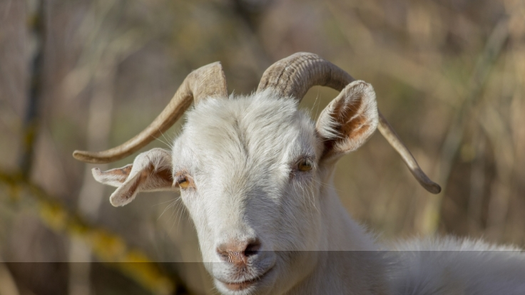 Ein kurioses Mischwesen, das einem Mix aus Schwein und Mensch ähnelt, wurde von einer Ziege auf einer Farm auf den Philippinen entbunden (Symbolbild). (Foto)