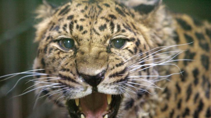 Ein Leopard hat ein deutsches Urlauberpärchen in Namibia attackiert (Symbolbild). (Foto)