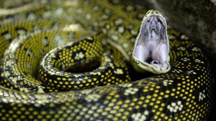 Ein Python wurde mit ungewöhnlichen Mitteln vom Verzehr eines Jungen abgehalten. (Symbolbild)