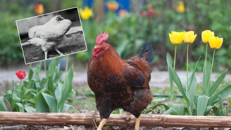 Ohne Kopf lebte der Hahn 18 Monate weiter.
