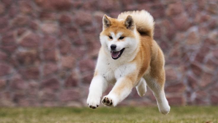 """Ein Hund der Rasse """"Japanischer Akita"""" hat einer Rentnerin in England bei einer blutigen Attacke die Gliedmaßen herausgerissen. (Foto)"""
