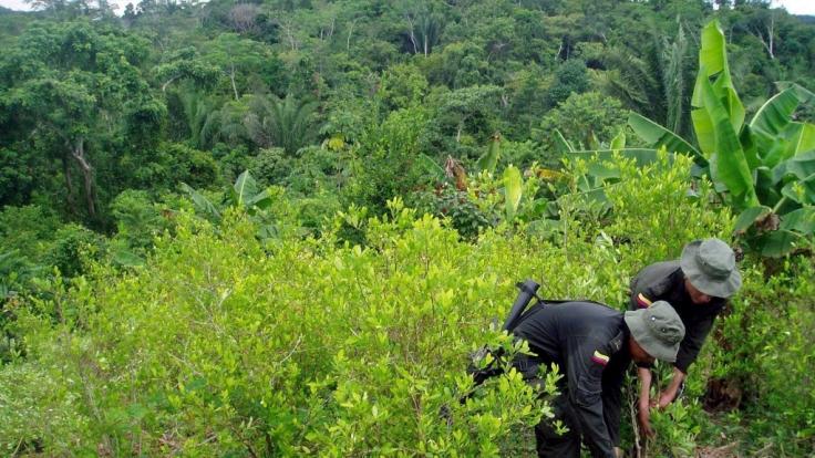 Die Polizei durchsucht eine Koka-Plantage in Kolumbien: Ein Deutscher ist jetzt in dem Land wegen Kokain-Schmuggels verhaftet worden. (Foto)
