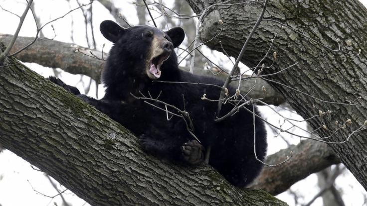 Grausames Video: Mann wird vor schockierten Zeugen von Bär zu Tode zerfleischt