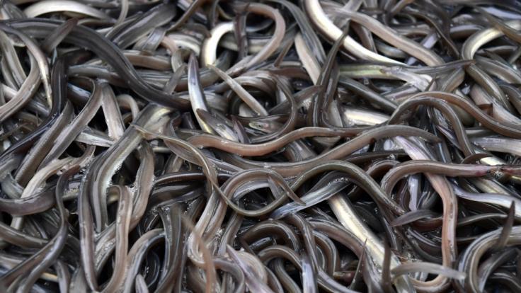 Weil er seine Verstopfung selbst behandeln wollte, führte sich ein Mann aus China einen lebenden Aal in den Darm ein - mit fatalen Folgen.