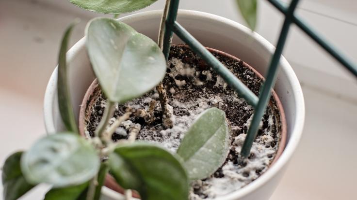 Weiße Flecken auf Blumenerde sind nicht nur eklig, sondern können auch gefährlich werden. (Foto)