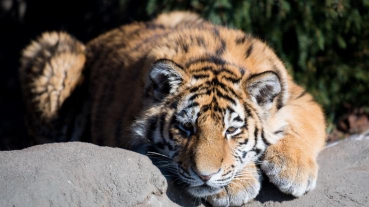 Ein Tiger hat in einem Zoo in China einen Tierpfleger angefallen und tödlich verletzt (Symbolbild).