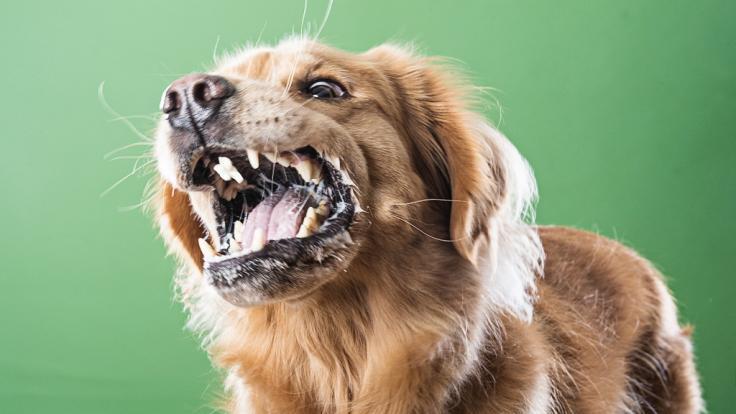 Ein Labrador hat seinem Frauchen im Schlaf das Gesicht zerbissen. (Foto)