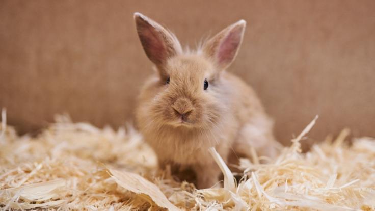Der betrunkene Vater köpfte das Kaninchen seines Sohnes. (Foto)