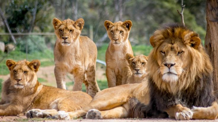Im Zoo von Barcelona haben sich vier Löwen mit dem Coronavirus infiziert. (Foto)