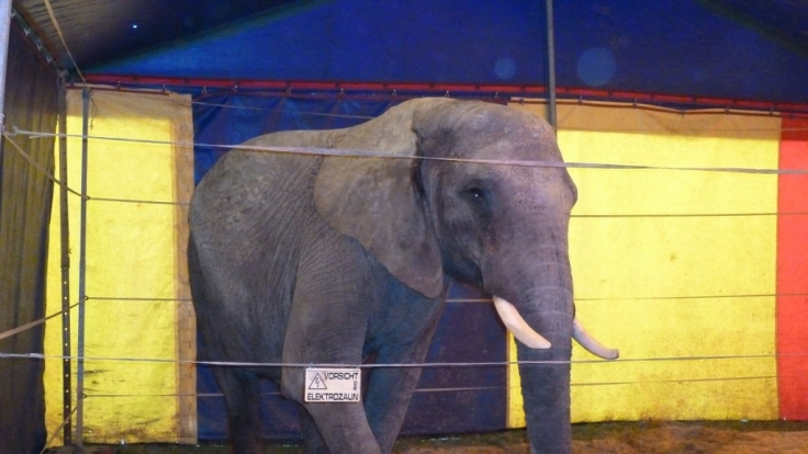 Diese Aufnahme zeigt den Zirkuselefanten Baby im Zirkus in Winnenden.