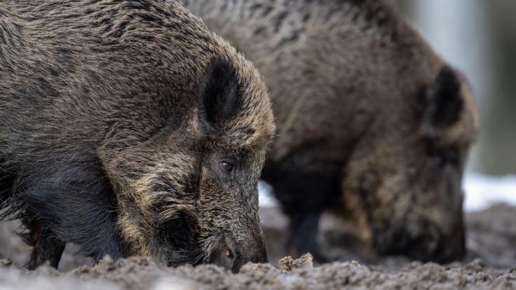 In Brandenburg soll die Afrikanische Schweinepest ausgebrochen sein. (Symbolfoto)