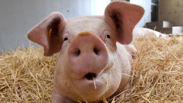Ein Bauer wurde von seinen Schweinen gefressen.