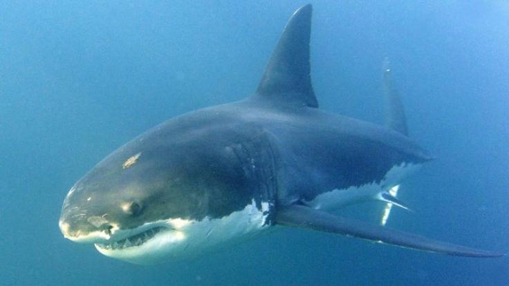 Herrscher über das Meer, der weiße Hai. (Foto)