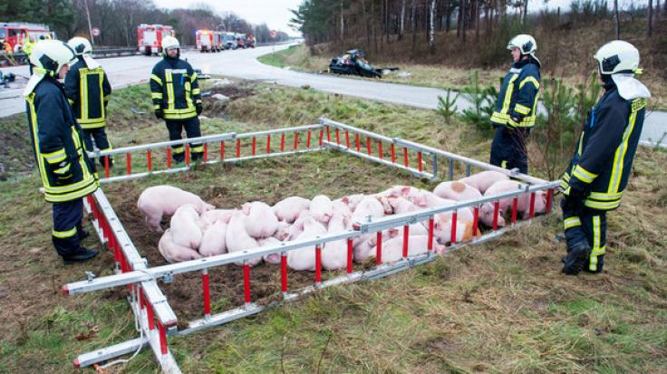 Schweine stehen nach einem Verkehrsunfall auf der Autobahn A24 in einem Gehege aus Feuerwehrleitern. Bei einer Karambolage mit mehreren Fahrzeugen und einem Viehtransporter sind drei Menschen gestorben. (Foto)