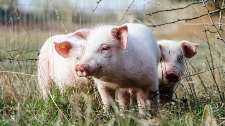 Ein Mann aus Nordamerika soll mehrere Tier, darunter die Schweine seines Vaters, missbraucht haben. (Symbolbild) (Foto)