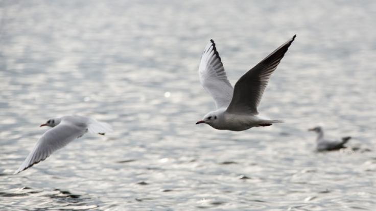 Die hochansteckende Vogelgrippe vom Typ H5N8 ist in Europa auf dem Vormarsch - auch in Deutschland wurden bereits Fälle gemeldet. (Foto)