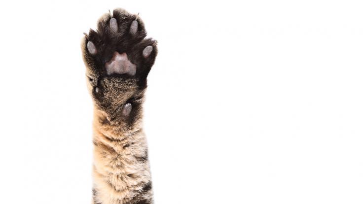 In der türkischen Provinz Karaman ist eine mutierte Katze tot geboren worden (Foto)