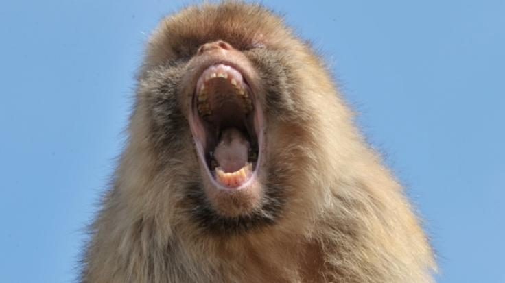 Ein alkoholsüchtiger Affe hat in Indien 250 Menschen verletzt und einen Mann getötet (Symbolbild).