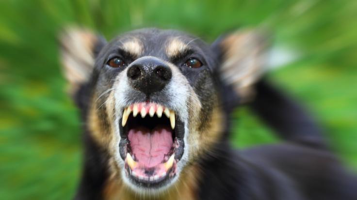 Eine schwangere Frau wurde offenbar von mehreren Hunden zu Tode gebissen. (Foto)