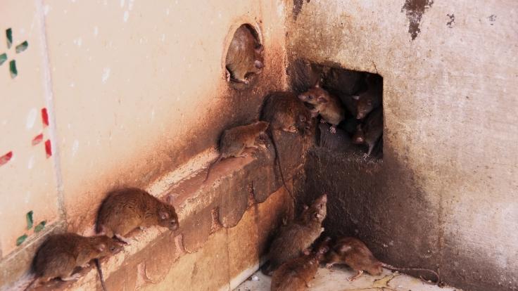 Die pakistanische Stadt Peshawar hat derzeit mit einer Rattenplage zu kämpfen. (Symbolbild) (Foto)