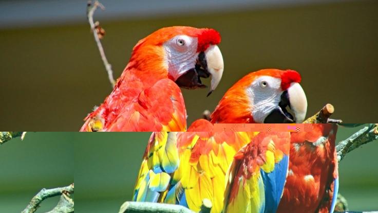 """Papagei Douglas, besser bekannt als """"Rosalinda"""" aus dem Film """"Pippi im Taka-Tuka-Land"""", lebte im Karlsruher Zoo zuletzt mit Artgenosse Rubin (vorne) zusammen. (Foto)"""