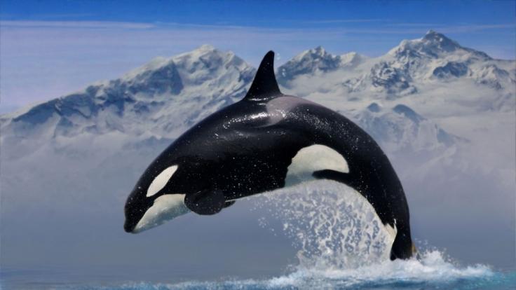 Vom einen auf den anderen Tag drehte der Killerwal Keto durch und brachte seinen Trainer um.