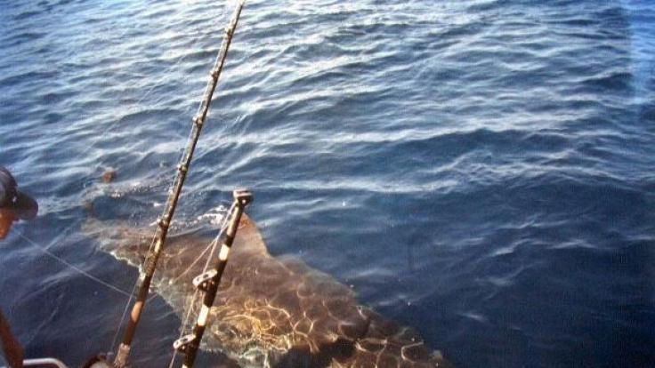 Das Tier muss bei seiner Größe ein weißer Hai gewesen sein. (Foto)