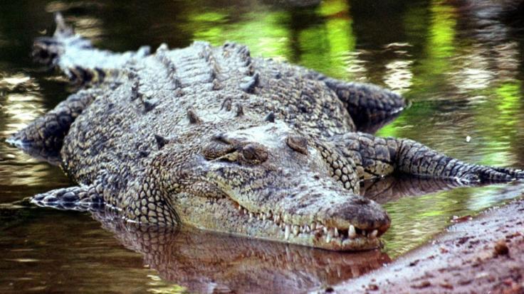 Ein Krokodil zerfleischte in einer indonesischen Forschungseinrichtung eine Frau. (Symbolbild) (Foto)