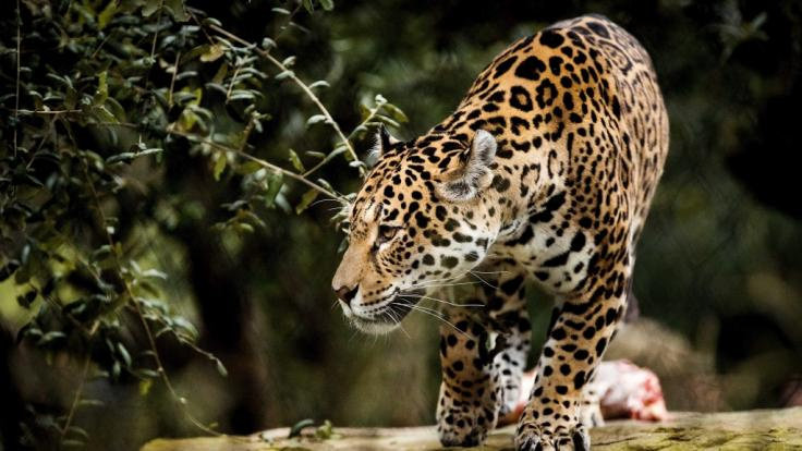 Eine Zoobesucherin wollte ein Selfie mit einem Jaguar und wurde dabei beinahe zerfleischt.