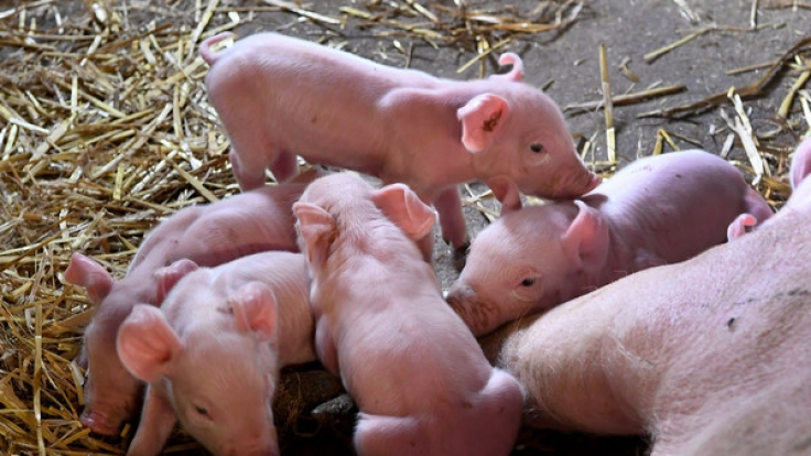 Artgerechte Schweinehaltung in Sachsen.