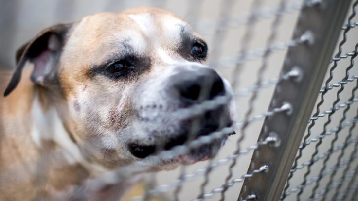 Der Staffordshire-Terrier-Mischling soll nach dem Tod seiner Besitzerin eingeschläfert werden. (Foto)