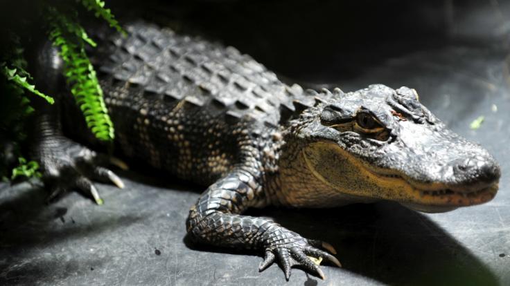 In Indonesien sind rund 300 Krokodile brutal niedergemetzelt worden. (Symbolbild) (Foto)