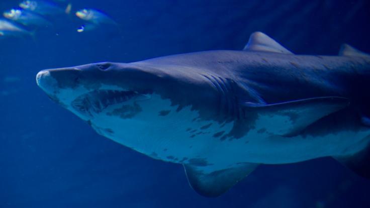 Ein Hai verletzte im Great Barrier Reef vor Australien einen 25-Jährigen schwer.