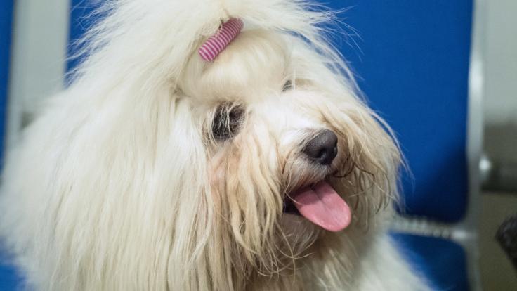 Eine Frau soll Sex mit zwei Shih-Tzu-Hunden gehabt haben. (Foto)