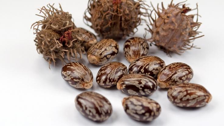 Die Samenkapseln des Wunderbaums enthalten hochgiftiges Rizin. (Foto)