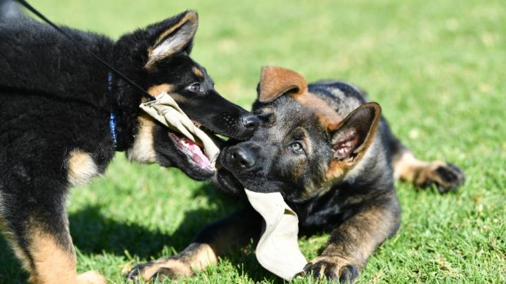 Ein Schäferhund hat einen Teenager zerfleischt. (Foto)