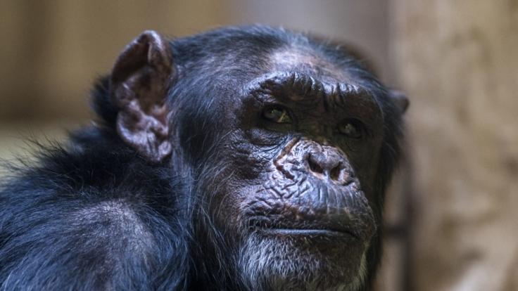 Schimpanse Travis wurde nach dem Vorfall erschossen. (Symbolbild) (Foto)