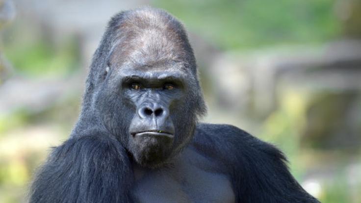 Im Loro Parque auf Teneriffa wurde ein Mann im Gorilla-Kostüm lebensgefährlich verletzt.