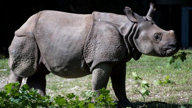 Ein Panzernashorn - hier ein Exemplar aus dem Münchner Tierpark Hellabrunn - hat in Nepal einen Angler getötet.
