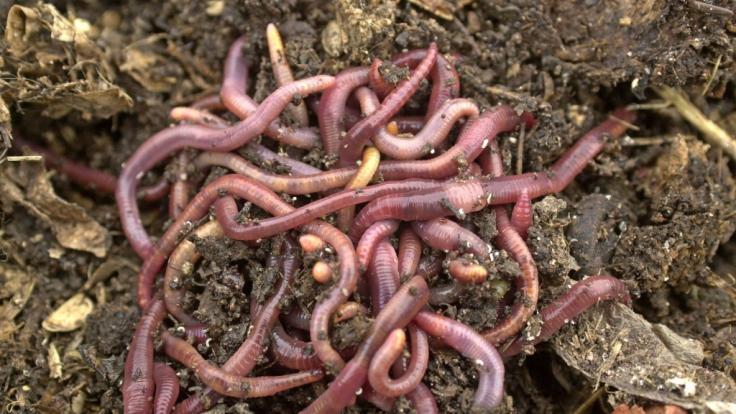 In Indien haben Ärzte im Magen eines Mannes Würmer gefunden. (Symbolfoto) (Foto)