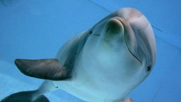 Delfin im Delfinarium in Nürnberg:Die Tümmler verdrängen die Affen als intelligenteste Spezies im Tierreich. (Foto)