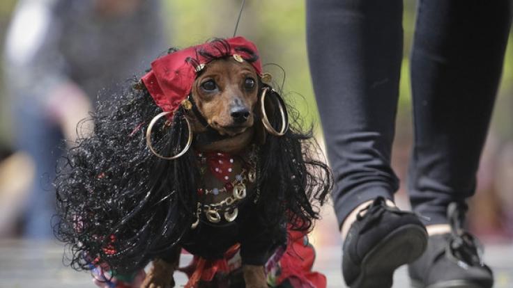 Wer hätte gedacht, dass ein kurzbeiniger Hund als rassige Zigeunerin eine so passable Figur abgibt? (Foto)