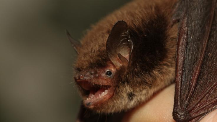 Entdeckt wurde das Virus Australien Bat Lyssavirus in Fledermäusen.
