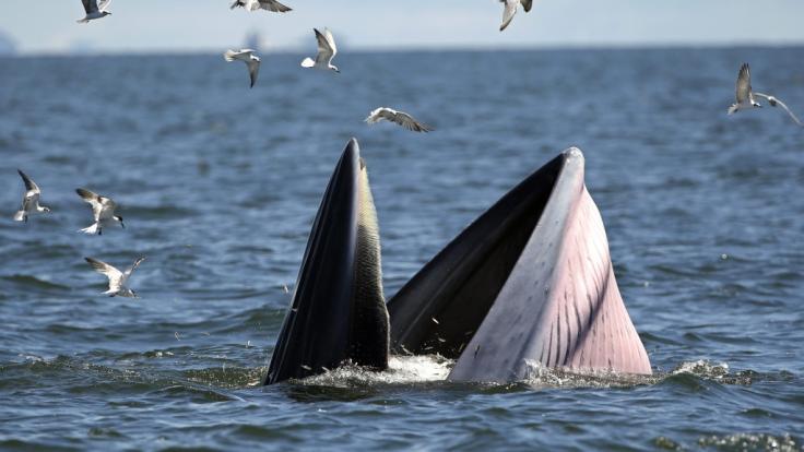 Ein plötzlich auftauchender Bartenwal versetzte einem jungen Australier bei einem Angelausflug einen heftigen Schlag - jetzt liegt der 18-Jährige mit einem Genickbruch im Koma und kämpft um sein Leben (Symbolbild). (Foto)