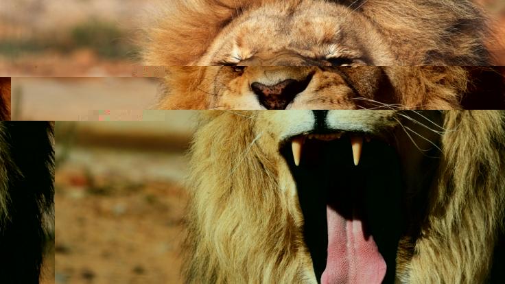 Die zwei Löwen haben den Tour-Guide bei lebendigem Leib gefressen. (Foto)