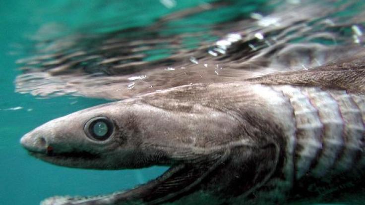 Vor Portugal wurde ein Kragenhai entdeckt. (Foto)