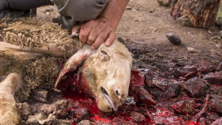 In Pakistan hat ein Vampir anscheinend eine Herde Ziegen getötet. (Symbolbild) (Foto)
