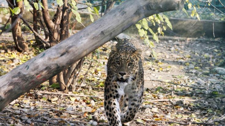 Wilder Leopard in Nepal (Foto)